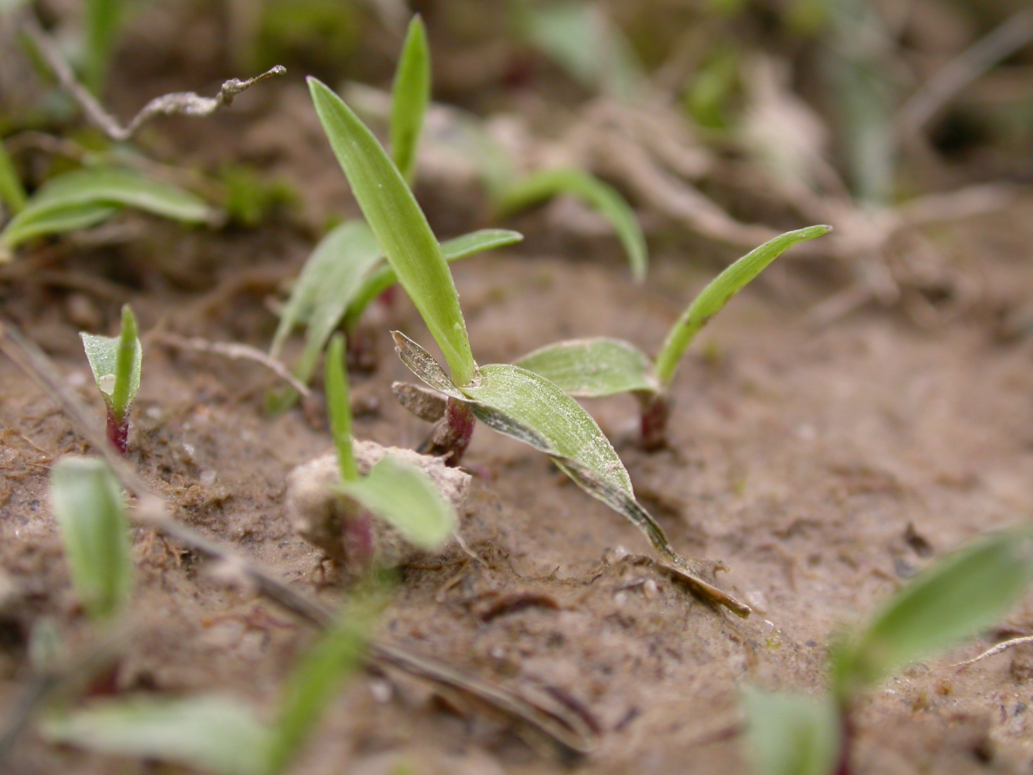 Crabgrass Germination