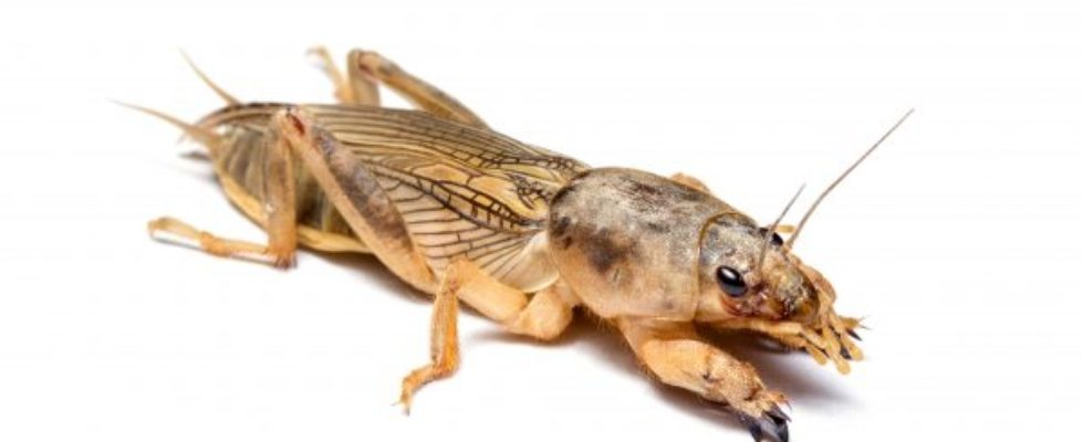 mole_cricket-600x355