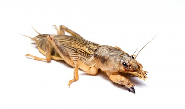 mole_cricket-600x355
